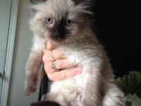 ragdoll manx kittens 3 with no tails and 2 with, 3 male