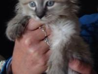 5 beautiful ragdoll Manx kittens ! Very loving