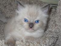 I have one Beautiful male Ragdoll kitten available at