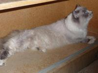 Ragdoll - Pamuk - Medium - Adult - Female - Cat Pamuk