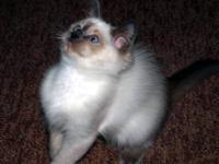 Purebred Ragdoll Kitten - Ready for her new home!