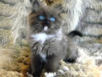 We have a Mink Ragdolls available and a litter due Now