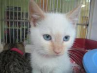 Ragdoll - Savannah - Medium - Baby - Female - Cat