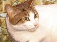Ragdoll - Sheba - Small - Senior - Female - Cat Another