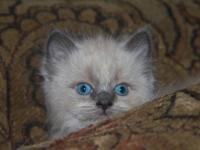 Beautiful Blue Mink Ragdoll/ Siamese mix. Looks pure
