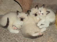 beautiful ragdoll/siamese kittens coming will have