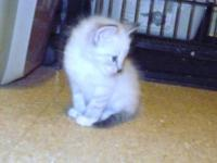 Pretty Ragdoll Blue Eyes. Female I have 7 babiers from