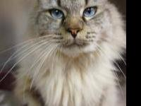 Ragdoll - Bryan - Large - Adult - Male - Cat (For more