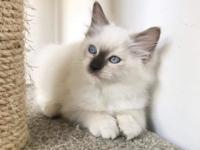 We  have male  and female Ragdoll kitten ready  ready