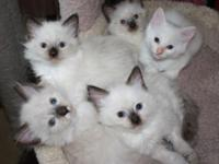 Ragdoll Doll Kittens. Male and Females ready for the
