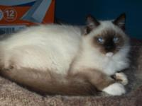 2 Purebred Ragdolls. 1 Mitted Seal Point Male, Born