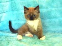 RitzNRagdolls Is a Registered TICA Cattery We