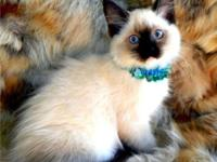 We Specialize In Quality Ragdolls and are a cattery