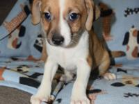 Rain is an 8 week old Chi possible Dachshund mix whose