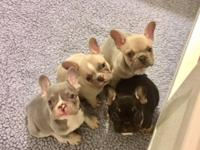 Rain,French Bulldog Puppy for sale Text me for more