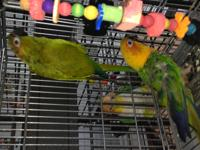 Rainier, a Hybrid Conure and Sequoia, a Sunday Conure