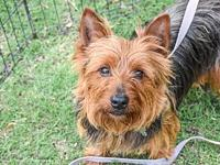Raisin's story Raisin is a 25 lb yorkie mix. He was a
