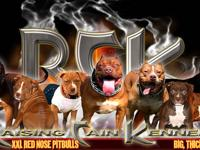 Raising Cain Kennels produces some of the best XXL Red
