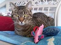 Rajah's story 6 yr SF DSH Brown Tabby Rajah is a 6 year