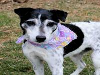 Ralfee is a 10 year old, Neutered Male Jack Russel