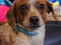 Ralph is an approximately 10 month old dachshund mix.