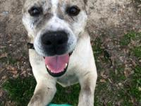 Ralphie is a male neutered husky pit mix, guessed to be