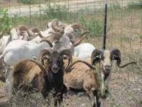 rams for sale 50+ head available all colors and types