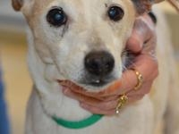 Ramsey (#360237) is a 15 year old Jack Russell Terrier