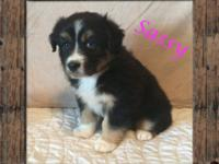 **REDUCED** Ranch Raised ASDR Mini Aussie Puppy Sassy ~