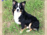 Ranch Raised ASDR Mini Aussie Male Ruger ~ Mini Black