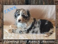 **REDUCED** Ranch Raised ASDR Mini Aussie Puppy Tank ~