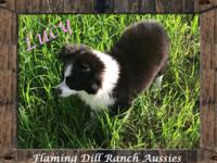 **REDUCED** Ranch Raised ASDR Small Toy Aussie Puppy