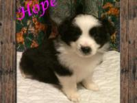 Ranch Raised ASDR Toy Aussie Puppy Hope ~ Toy Black Tri