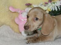 Ranger is an adorable creme short hair mini dachshund