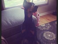 ADOPTION FEE: $350 Ranger is a 15 month old black and
