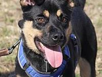 Ranger's story Approx 2 year old Shepherd mix.