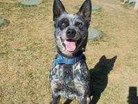 Rango is a handsome Heeler that was out wandering in
