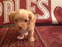 Blonde male Yorkshire Terrier pup. AKC registered.Pup
