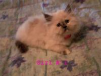 Now offering rare and adorable Himalayan Kittens in the