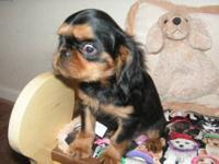 The English Toy Spaniel is a very loving and loyal