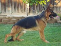 RARE akc german shepherd puppy for sale GREAT pedigree