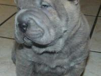 These are beautiful shar pei puppies, in VERY RARE