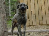 We have a rare and wonderful Anatolian Shepherd for