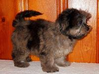 Are you considering a poodle hybrid puppy because they