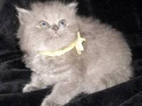I have 3 beautiful blue persians left, they will be