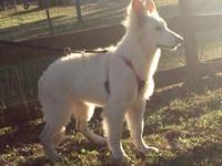 Very Rare. Pure breed!! Berger Blanc Suisse Shepherd