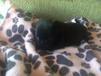 Rare Black AKC Champion Line Pugs with both moms and