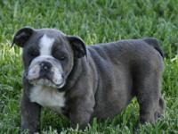 This amazing little bully has a great personality and