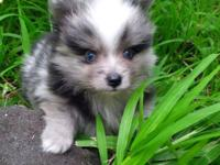 Exotic blue-eyed blue merle AKC pomeranian born March