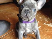 We have two beautiful purebred AKC french bulldog Blue